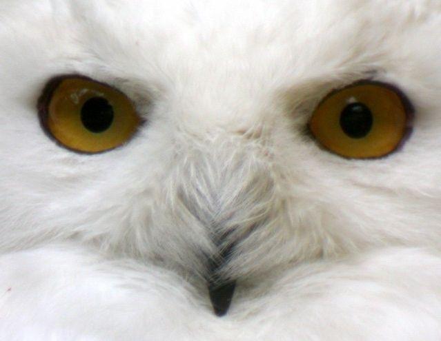 Белые совы