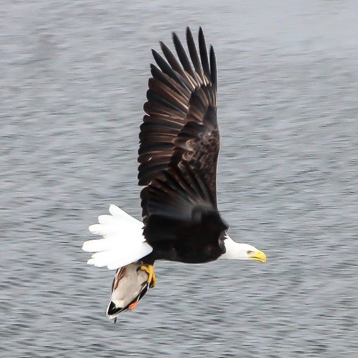 "134 Likes, 5 Comments - @jenschuld on Instagram: ""One of the Paine Field bald eagles snagged a duck from a drainage ditch near the Boeing Everett…"""