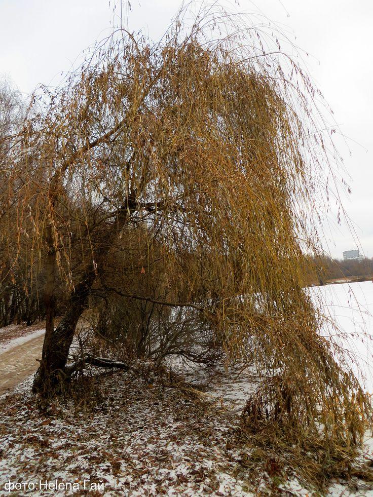 Холодный свет с небес рекой Посеребрил у ивы пряди Желто - зеленые, зимой.