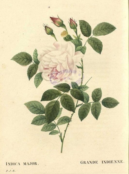 Les roses v3 1835 pierre joseph redoute biblioteca for Biblioteca digital real jardin botanico