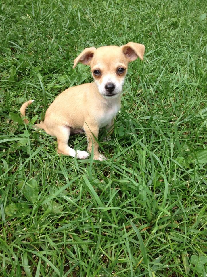 The Good and Not-so-good Traits of Chihuahua Terrier Mix ...