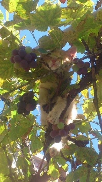 Here in the vineyards of Happykitten Wineries, our grapes are slept on by real kittens for optimal sweetness. Happy grapes, happy cats, happy wines. (via awwww-cute)