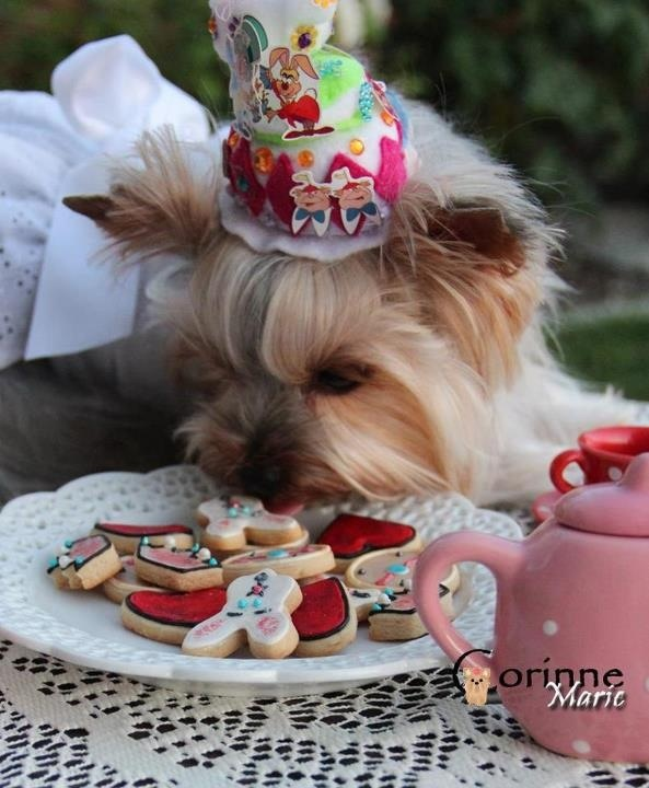 261 best Party yorkie images on Pinterest Yorkies Chloe and Puppies