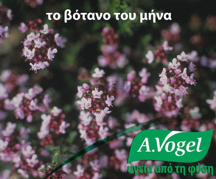 Θυμάρι (Thymus vulgaris)  Εκτός από τη χρήση του ως μπαχαρικό, το θυμάρι έχει μακρά ιστορία εφαρμογής στη φυτοθεραπεία για την αντιμετώπιση του σπασμωδικού βήχα καθώς και της βρογχίτιδας.