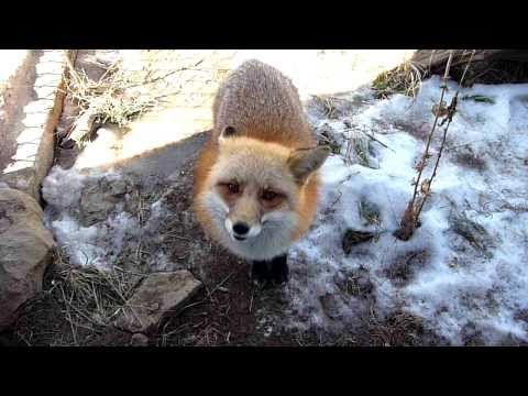 Chuckles the Red Fox - YouTube  YOU CANNOT TELL ME THESE THINGS SHOULD NOT BE PETS I WANT 20 IF NOT MORE