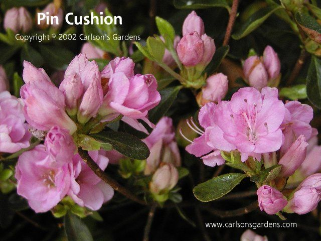 Pin Cushion Azalea   Google Search · Tree GardenPine ...