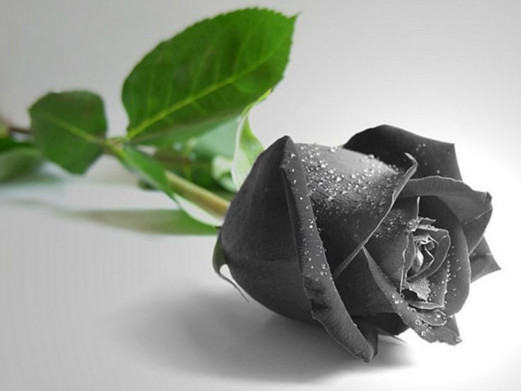 Beautiful Black Rose Wallpaper Images http://www.wallpaperidol.com/beautiful-black-rose-wallpaper-images/