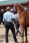 Amish man ready to lead horse into sale area