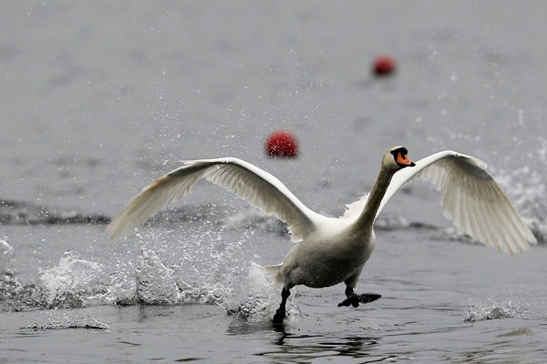 A goose flies between the rowing lanes during the training session of the British Olympic rowing teams in the Varese Lake, in northern Italy.