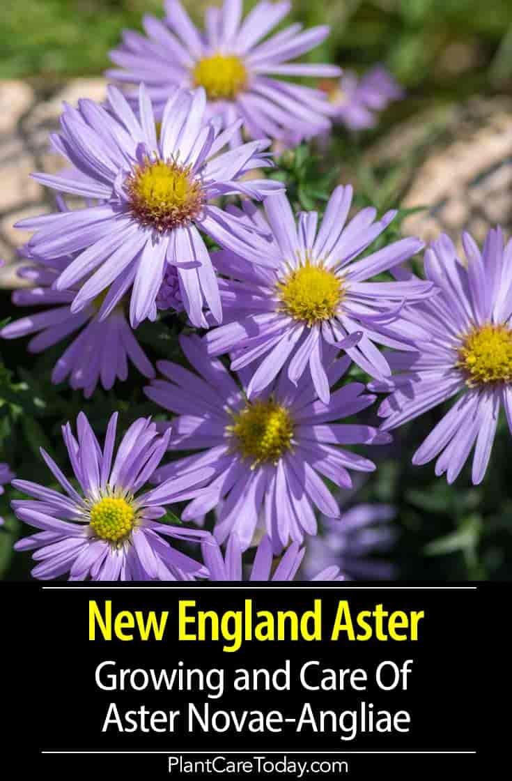 New England Aster How To Grow And Care For Aster Novae Angliae Herbaceous Perennials Garden Flowers Perennials New England