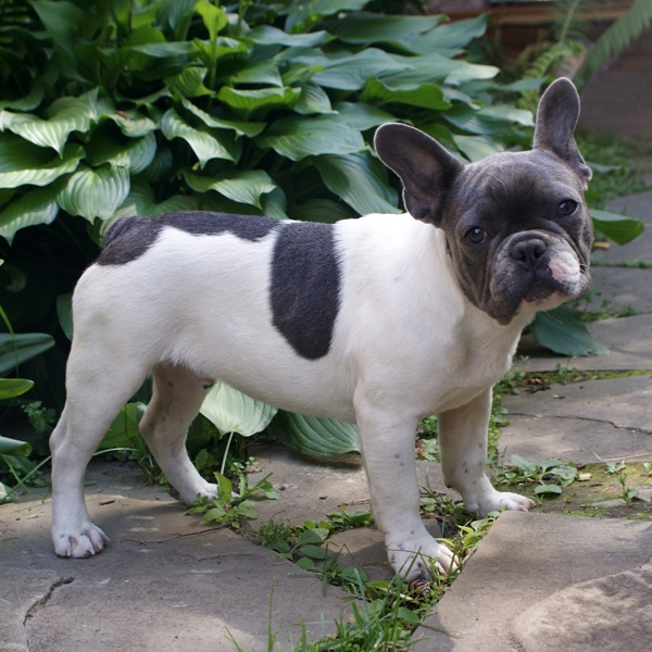 adult french bulldog 25 best ideas about pied french bulldog on pinterest 376