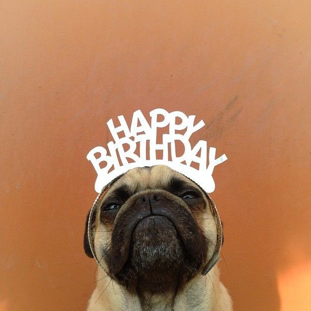 happy birthday - A #pug named Norm (byJeremy Veach)