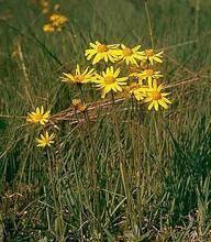 Arnica Montana Perennial Seeds Pase Perennial Seeds