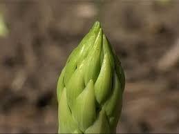 pointe d'asperge verte