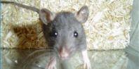 How to Potty Train Pet Rats | eHow.com