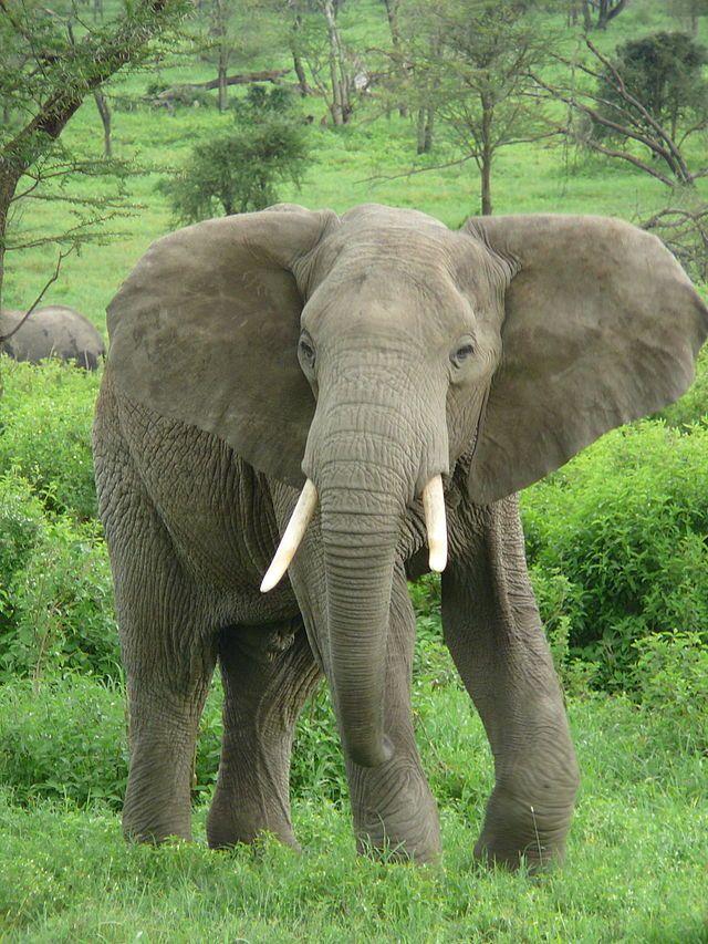 ELEPHANT (L'éléphant, à l'origine du nom du pays ◆Côte d'Ivoire — Wikipédia https://fr.wikipedia.org/wiki/C%C3%B4te_d%27Ivoire #Ivory_Coast #Cote_d_Ivoire)
