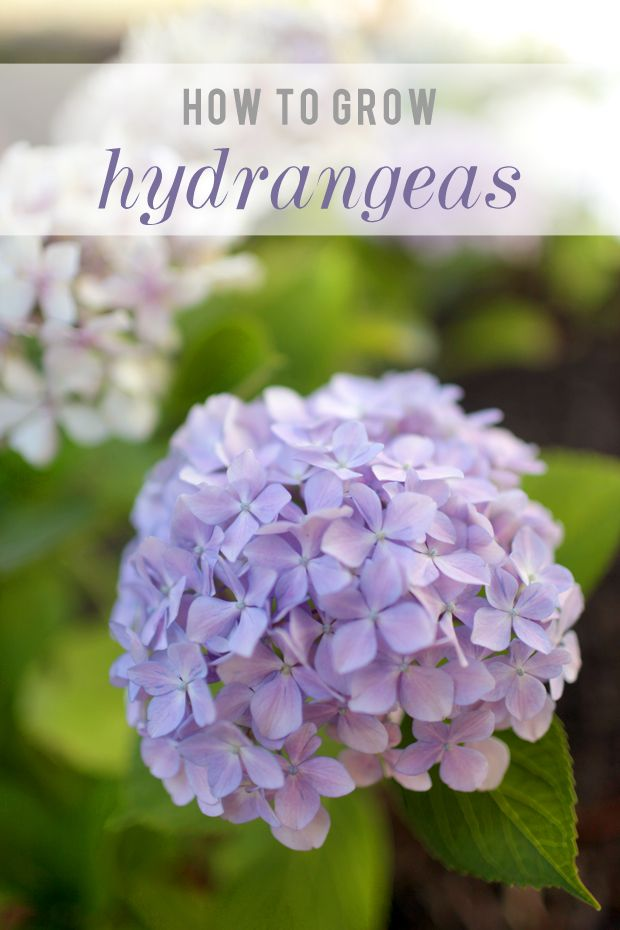 How To Grow Hydrangeas | She Sows Seeds 2                                                                                                                                                                                 More