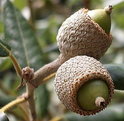 love the variety of oaks and acorns (these appear to be uncircumcised!)