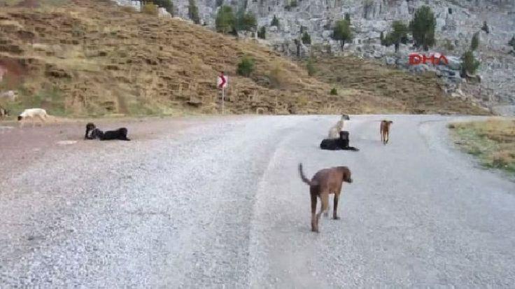 Antalya'nın Akseki İlçesi'ndeki Gidengelmez Dağları'na bırakılan onlarca köpek hayatta kalma mücadelesi veriyor. Detaylar ajanimo.com'da.. #ajanimo #ajanbrian