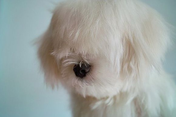 :D: Haircuts, Cute Animal, Animal Pictures, Dogs, Pet, Long Hair, Hair Cut, Bangs, Fluffy Puppies