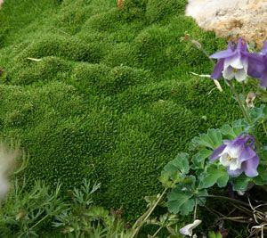 We love 'Wallowa Mountain' desert moss (Arenaria 'Wallowa Mountain') because it is a walkable groundcover for pathways. Looks like moss but takes dry soil.
