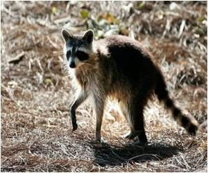 How many raccoons have rabies