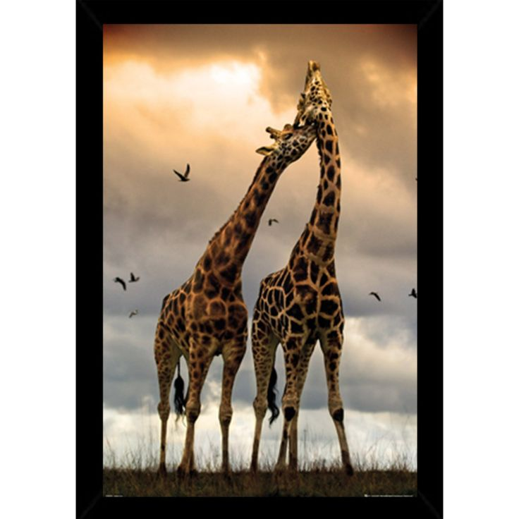 Giraffes Kissing With Choice of Frame