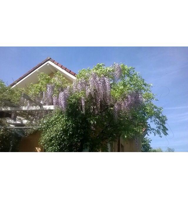 #cincodemayo #wisteria #absolutandra