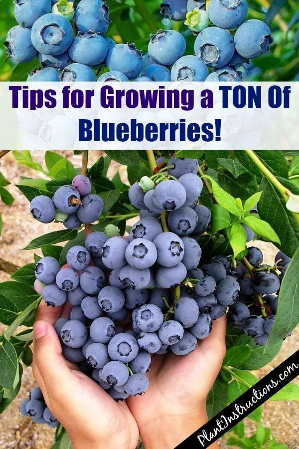 How To Grow A Huge Blueberry Harvest Growing Blueberries Blueberry Plant Blueberry Gardening