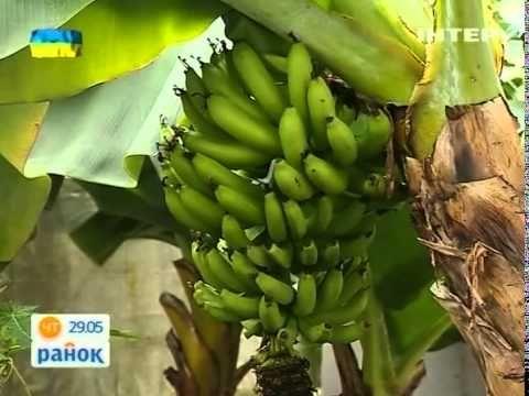 Выращиваем Банан Дома - Ранок - Інтер