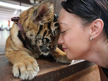 Experience the beauty of tigers up close and personal at the Tiger Sanctuary in Thailand. I will do this.