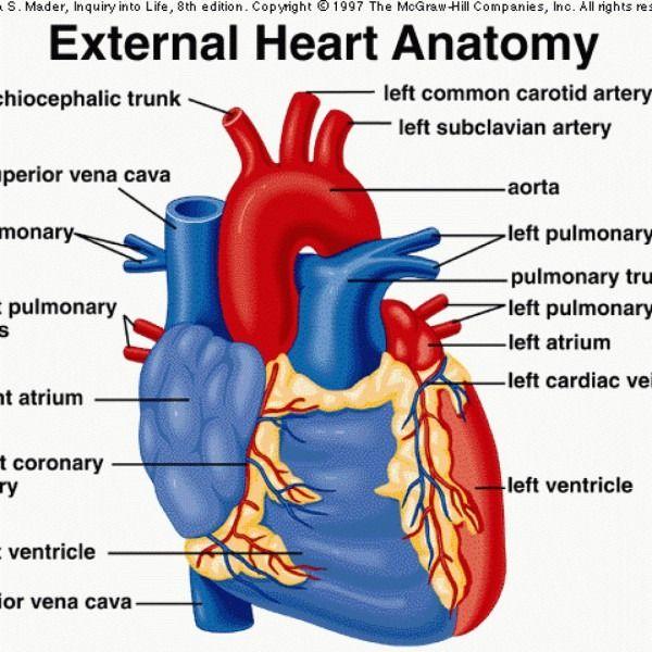 External Heart Diagram | Heart anatomy, Heart diagram ...