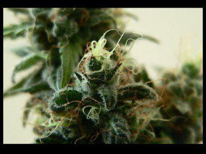 Feminized Marijuana Seeds - Buy Seeds Online