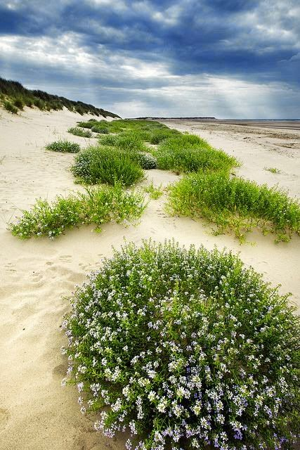 The Dunes of Thrift in Norfolk, England