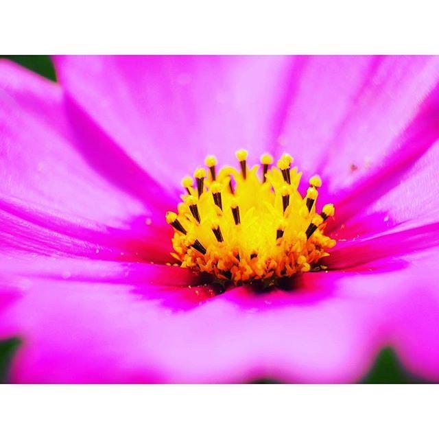 【yoshihiro111】さんのInstagramをピンしています。 《2016/10/03 「マクロ」 いままでマクロあんまり気にして撮った事なかったけど使うと楽しい😁 #マクロ#マクロレンズ#エクステンションチューブ#秋桜#こすもす#秋#桜#花粉#雌しべ#雄しべ#花#flower》