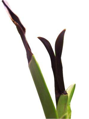 APRENDENDO COM AS ORQUÍDEAS: Deficiência de cálcio nas orquídeas.