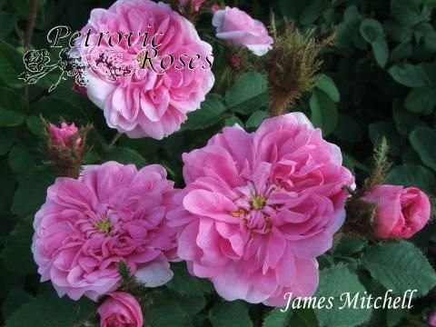 James Mitchell | Petrovic Roses