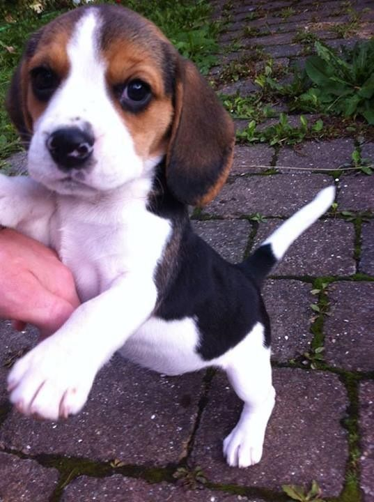 Little cute beagle.