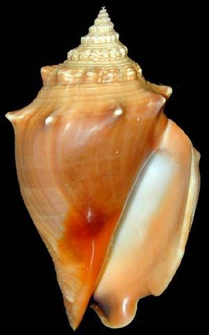 """Fighting Conch Fasciolaria hunteria Common in shallow grassy bays. Harder to find along the beach as it likes the grass flats that are in the bay. Up to 3"""""""