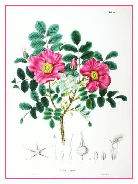 Rosa-rugosa, Roseira-rugosa  Origem: Ásia, China, Coréia do Norte, Coréia do Sul, Japão, Sibéria  http://sergiozeiger.tumblr.com/post/114838438288/rosa-rugosa-roseira-rugosa-origem-asia-china  A rosa-rugosa é uma planta arbustiva, decídua e muito florífera, que encanta por sua rusticidade e beleza. Apresenta caules múltiplos, que brotam a partir das raízes, e ramagem muito densa, tomentosa e espinhenta. As folhas são a princípio verde-escuras, as folhas passam ao amarelo antes de cair, com…