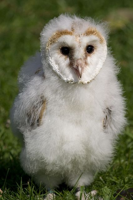 baby barn owls. just learning to stand up, starting to get real feathers, clumsy and hilarious.