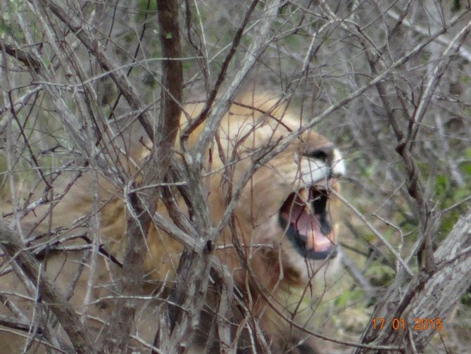 Lion on a Durban safari Tour with Tim Brown Tours to Hluhluwe Imfolozi game reserve