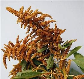 Very pretty and fall wildflower look...Brown amaranthus...Mayesh Wholesale Florists - Search our Flower Library