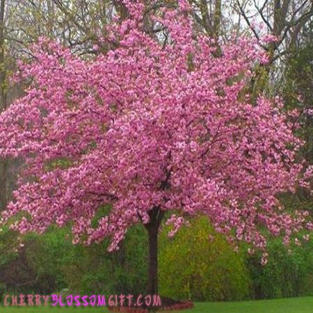 k cherry tree kwanzan cherry tree blooms in april in zone 6 7 front yard landscaping walkway and fencing