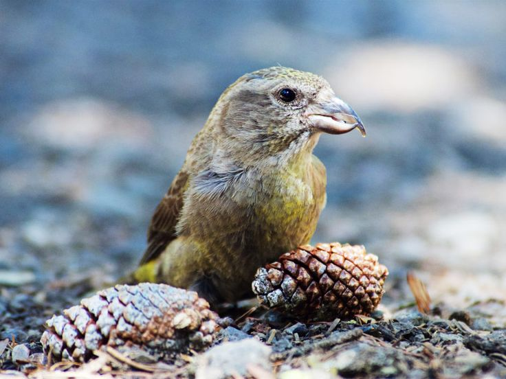 In the pine forests of Idaho, a bird called the South Hills crossbill is waging one seriously bizarre evolutionary war.