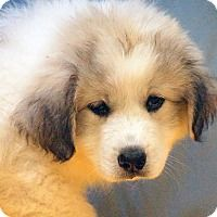 7/21/17 Great Pyrenees Mix Puppy for adoption in Maynardville, Tennessee - Candy