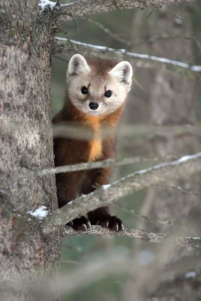 American marten - saw one of these Summer 2012, above timberline on the way down from Capitol Peak.