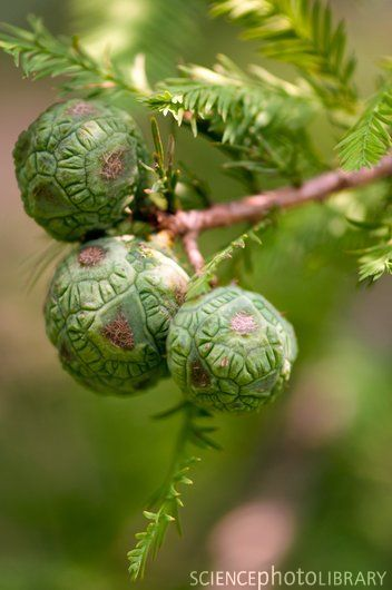 Bald Cypress Seed Pods. So cool. I want to plant a few in a wet area of our property.