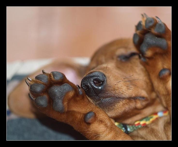 Love dachsie hands.
