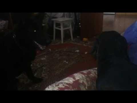 Собачьи бои немецкая овчарка против таксы